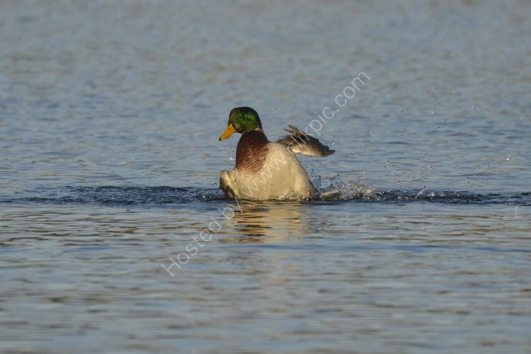 Bird - Mallard Duck (Anas platyrhynchos) - Crash Landing