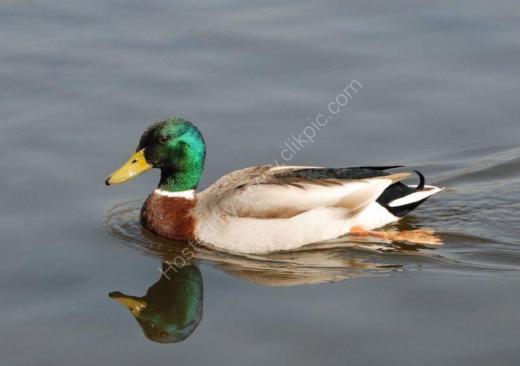 Bird - Mallard Duck (Anas platyrhynchos) - Mallard Reflection