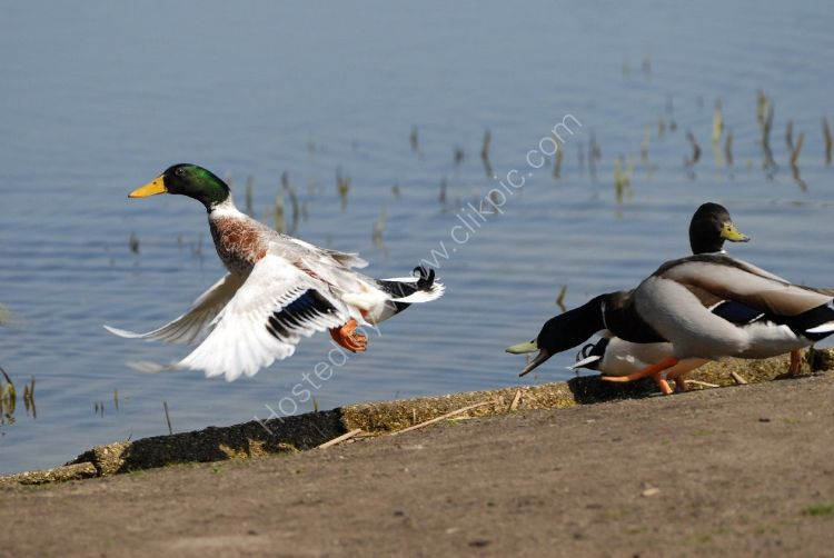 Bird - Mallard Duck (Anas platyrhynchos) - Timely Take Off