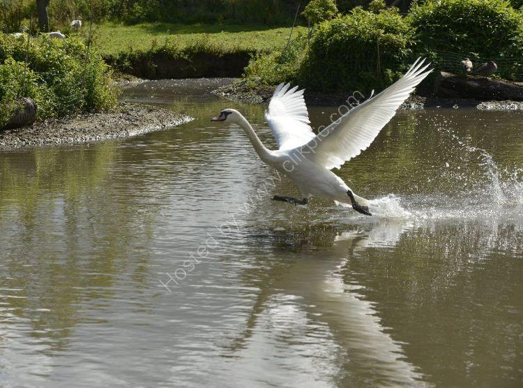 Bird - Mute Swan (Cygnus olor) - Aborted Take Off
