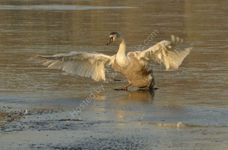 Bird - Mute Swan (Cygnus olor) - Fully Grown Cynet finds it slippy on the frozen loch