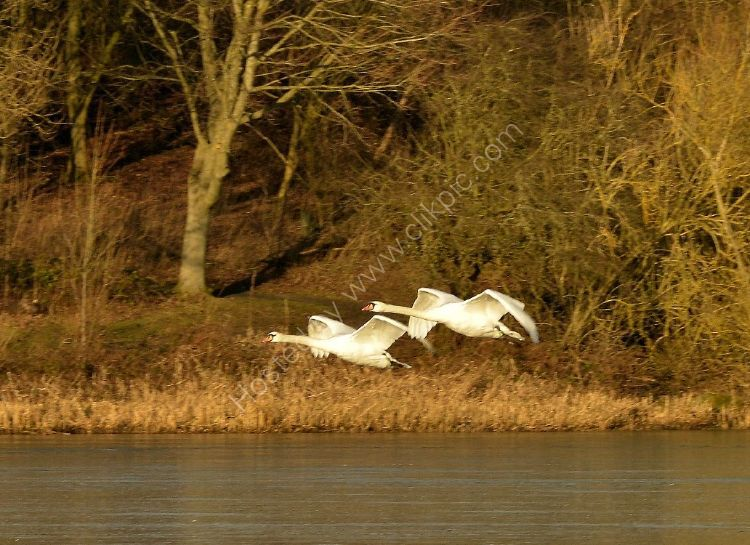 Bird - Mute Swan (Cygnus olor) - Graceful Flypast
