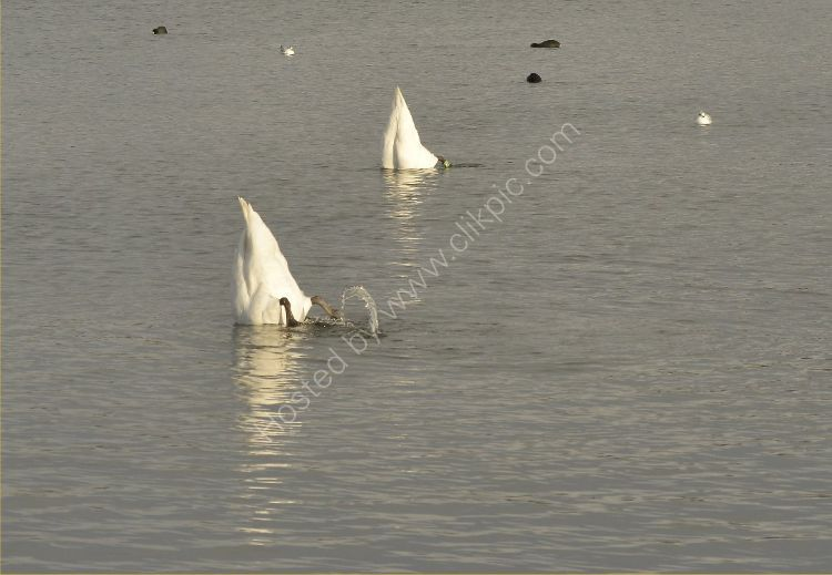 Bird - Mute Swan (Cygnus olor) - Synchronised Swimming (or sinking?)