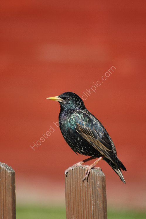 Bird - Starling (Sturnus vulgaris) - A portrait