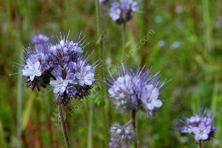 Crop - Flax or Linseed (Linum usitatissimum)