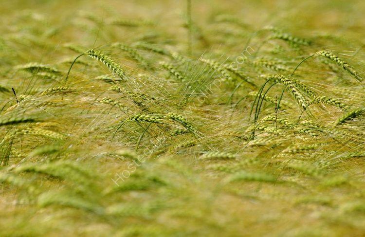 Crop - Windswept Crop