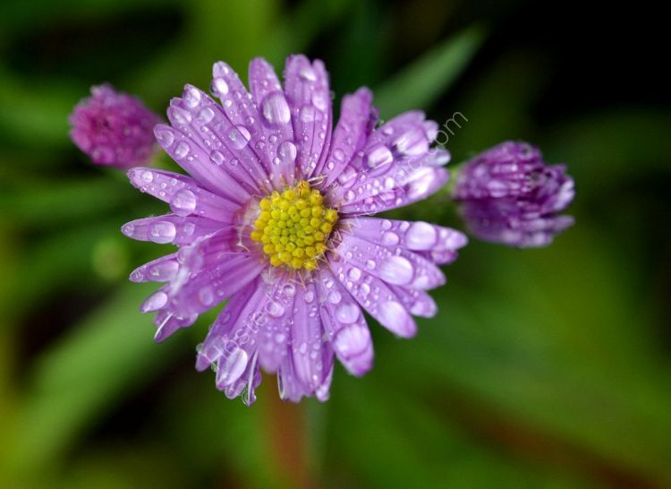 Flower - Aster x frikartii (with Raindrops)