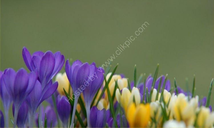 Flower - Crocus (Crocus Iridaceae)