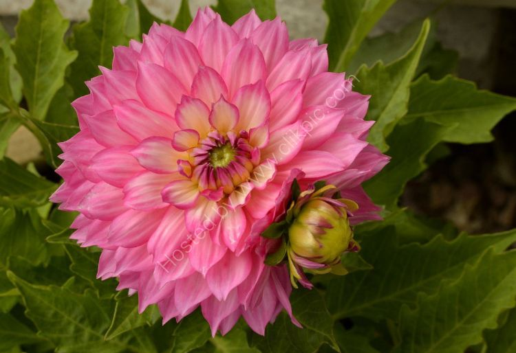 Flower - Dahlia (Compositae)