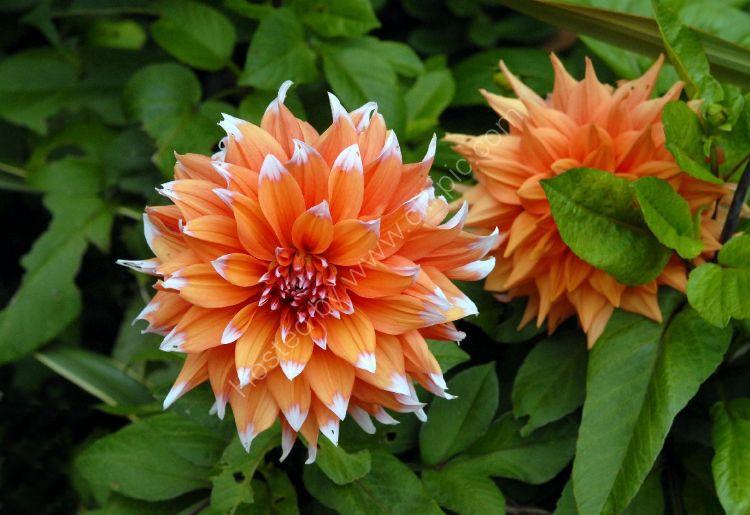 Flower - Dahlia Crossfield Festival