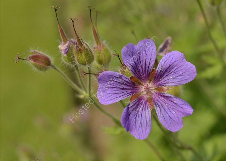 Flower - Purple Flower and Buds
