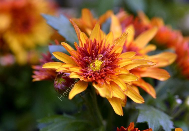 Flower - Red and Yellow