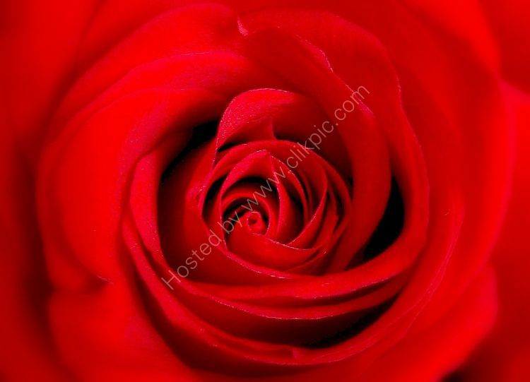 Flower - Rose (Rosa) - Love is like a red, red Rose