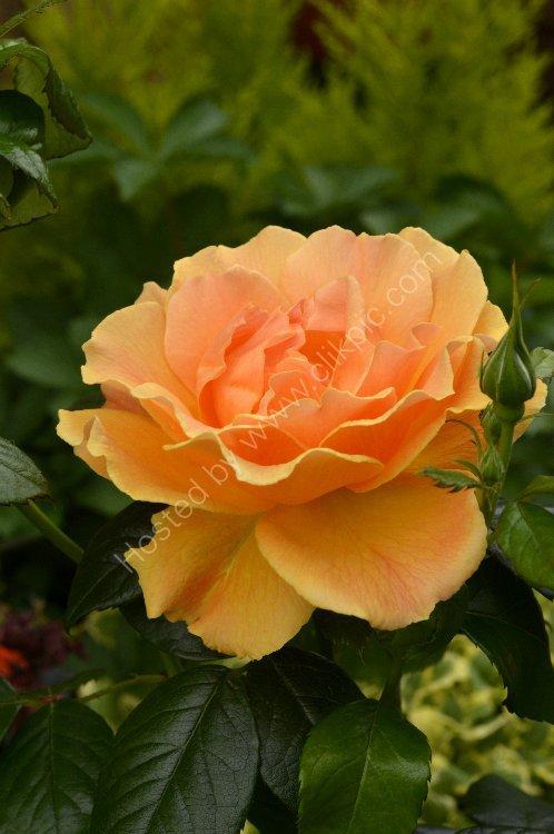 Flower - Rose (Rosa) - Orange Rose in Bloom