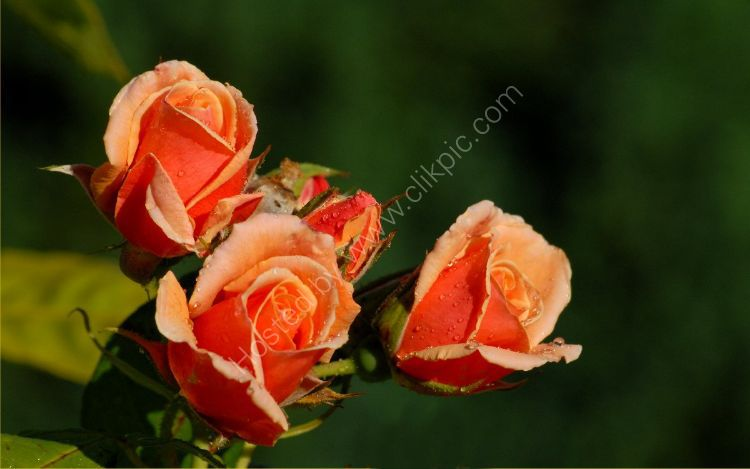 Flower - Rose (Rosa) - Pink Roses with Raindrops (2)
