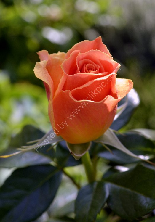 Flower - Rose (Rosa) Orange Rose