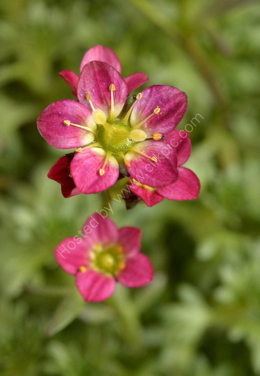 Flower - Saxifraga Red (Upright)