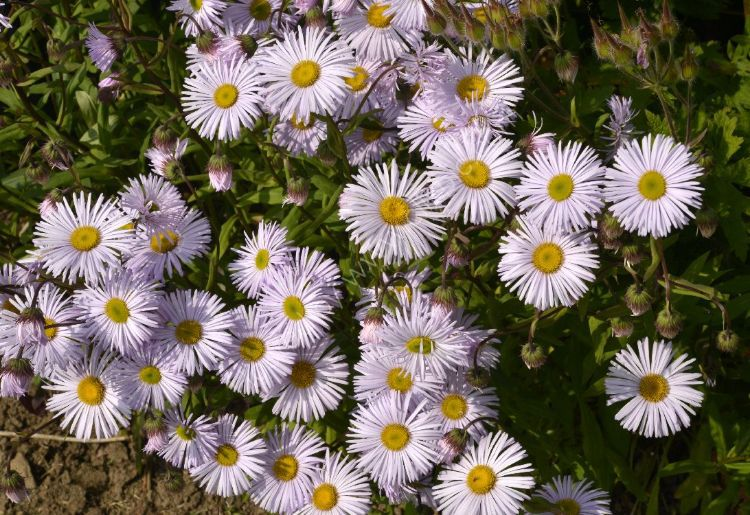 Flower - White Flowers (lots of them) with yellow centres...