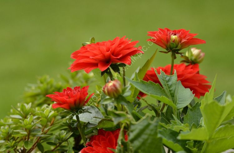 Flower - Zonal Geranium and Buds (Red)