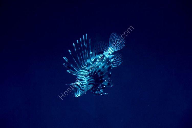 SOUTH AFRICA - Devil Firefish