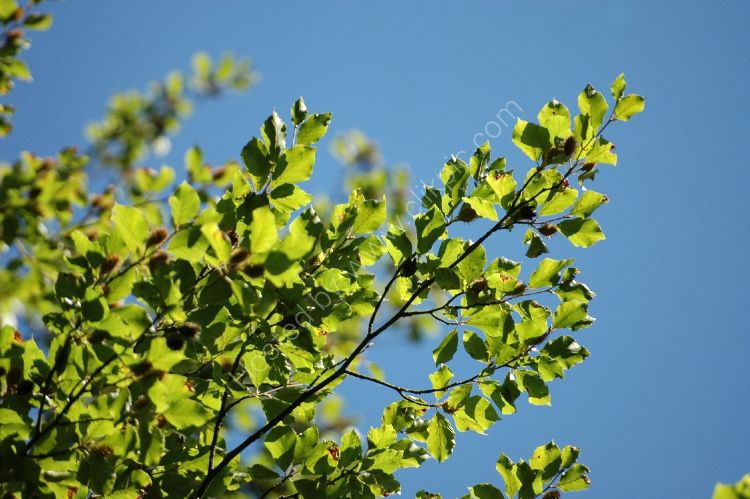 Spring - Young Leaves, Blue Sky