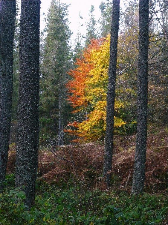Tree - Autumn Tree through the Trees