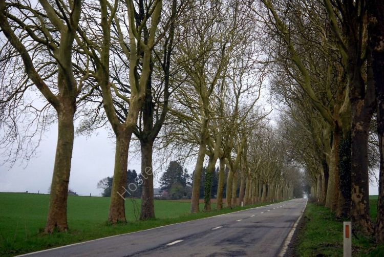 Tree - Belgian Tree-Lined Road