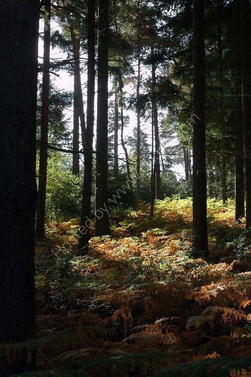 Tree - Ferns and Trees near Churt, Surrey
