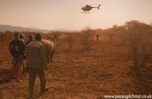 Rhino capture: with helicopter