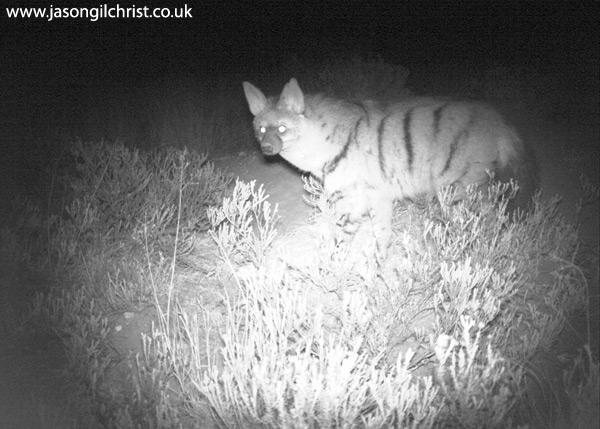 Aardwolf, Proteles cristata, at night, camera trap
