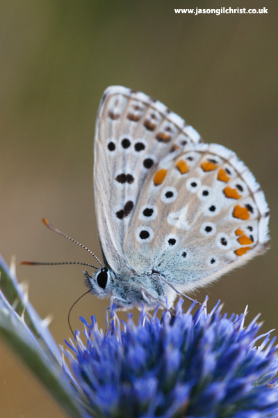 Adonis Blue butterfly atop Alpine Sea Holly, Croatia