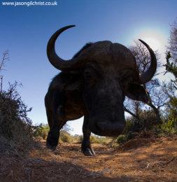 African Buffalo, Syncerus caffer, camera trap