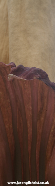 Amorphophallus titanum spadix and spathe