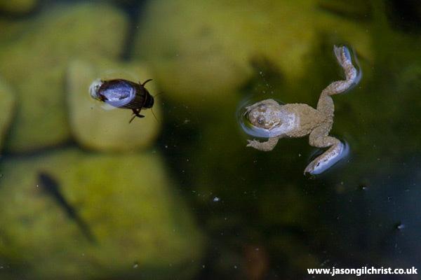 Bombina toad, water beetle, salamander larva