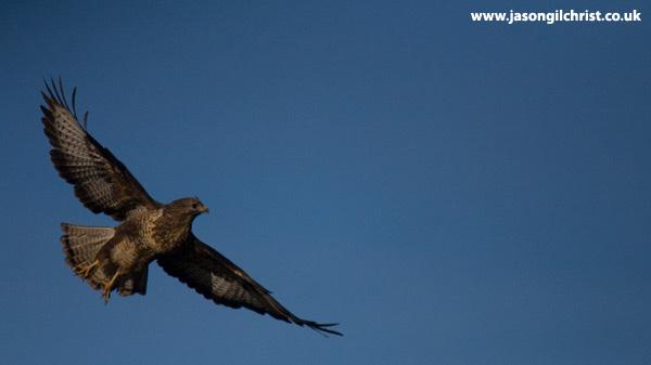 Bathgate buzzard in flight