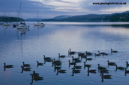 Canada geese at dawn on Lake Windermere