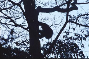 Chimpanzee, Kibale Forest, Uganda
