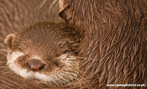 Contentment: Asian short-clawed otter (Amblonyx cinereus)