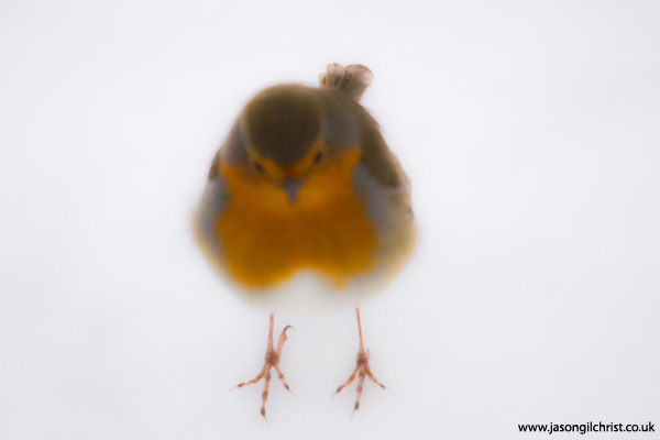 European robin: aglow