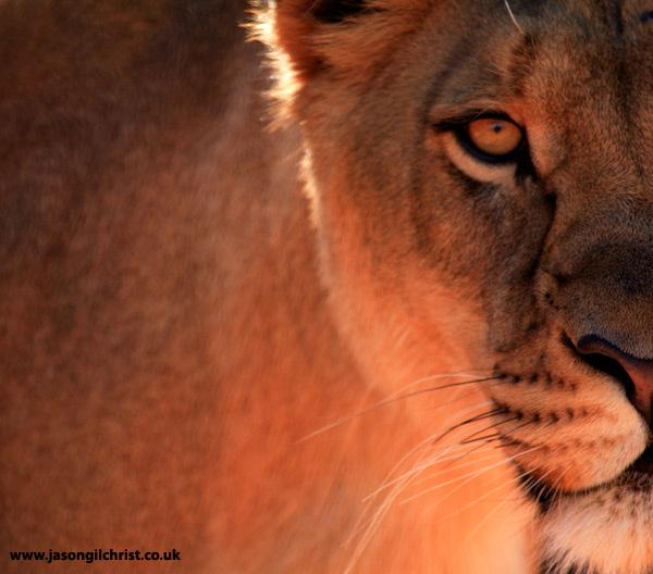 Eye of a killer: lion (Panthera leo)