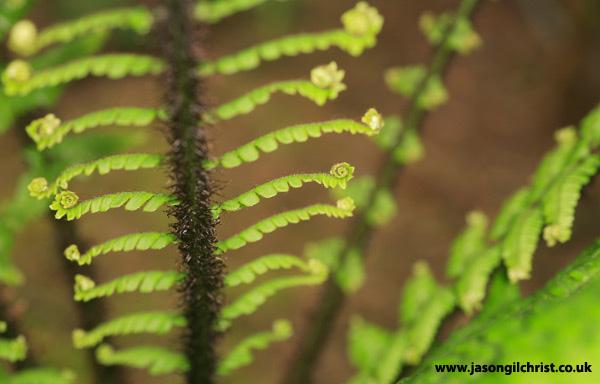 Study of a fern