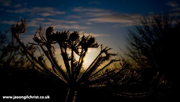 Frosty Flower: The Hogweed in Winter