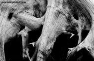Elefantus - tree roots by Loch Quoich