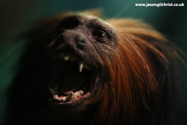 Golden Lion Tamarin - Monkey Business