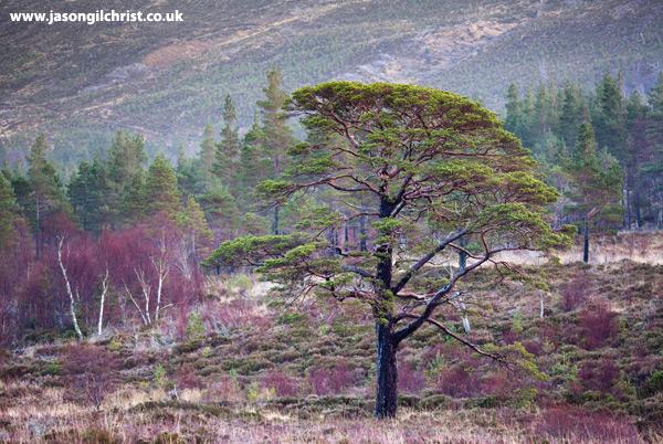 Lone granny pine tree in Glen Torridon