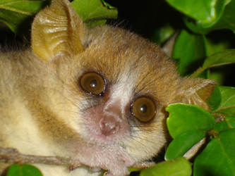 Grey Mouse Lemur face