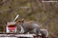 Grey Squirrel, Sciurus carolinensis, with Nutella, Edinburgh, Scotland.