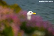 Herring Gull of Carradale