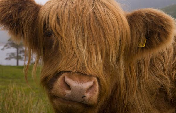 Highland Cow by Loch Quoich