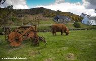 Highland cow at Duirinish